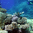 Mountain corals