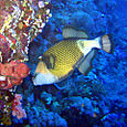 Giant triggerfish