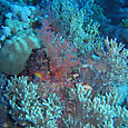 Finger leather corals