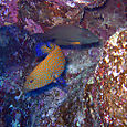 Lined bristletooth and coral grouper