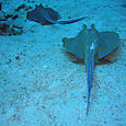 Two bluespotted stingrays