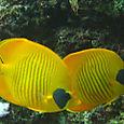 Orangeface buterflyfish couple