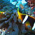 Anemonefish hiding
