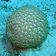 Mosaic coral